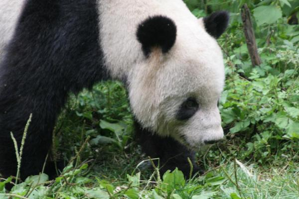 Foto de Giant panda slowly moving aroundWolong - China