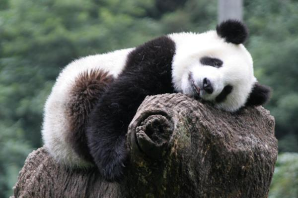 Young giant panda having a nap on a treetrunk | Giant panda | China