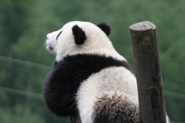 Picture of Giant panda (China): Young giant panda sleeping at Wolong Research Centre