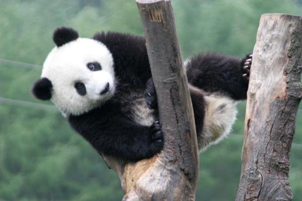 Giant panda playing around high up in a tree trunk | Giant panda | China