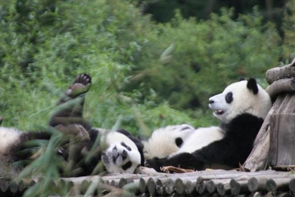 Foto de Pandas resting on a wooden platformWolong - China