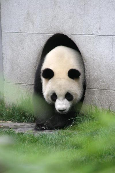 Foto de Giant panda coming out of its dwellingWolong - China