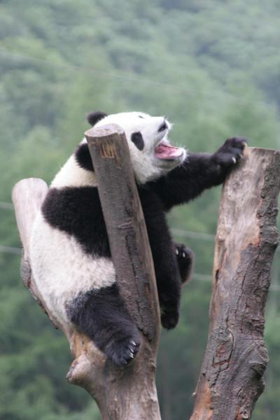 Picture of Giant panda (China): Yawning giant panda in tree trunk