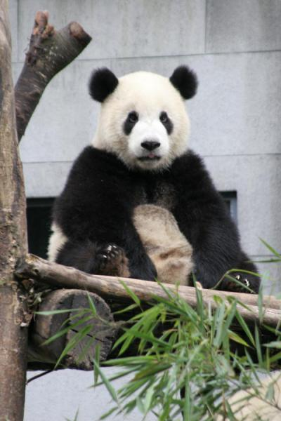 Picture of Giant panda (China): Giant panda trying to look silly