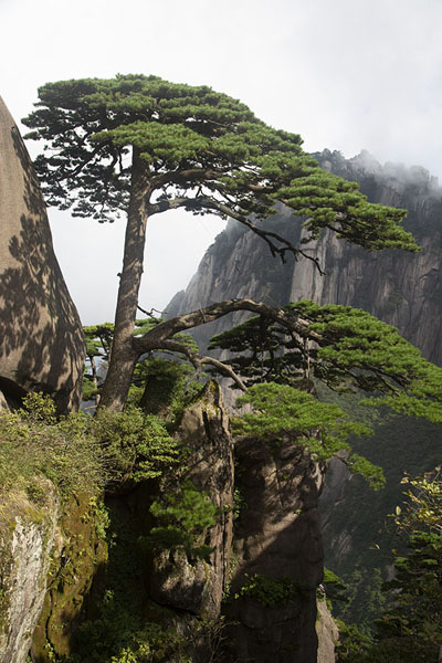 Ying Ke Pine, or Welcome Pine, near Jade Screen Peak | Huangshan Mountains | Chine