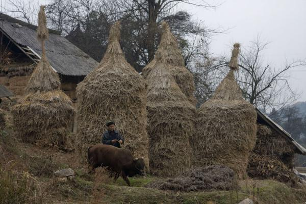 Picture of Matang Village (China): Haystacks, peasant and cow in Matang