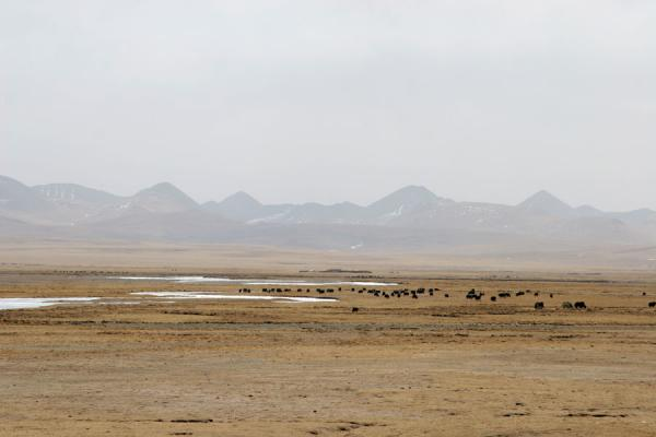 Picture of Yaks in plain surrounded by mountains in Qinghai