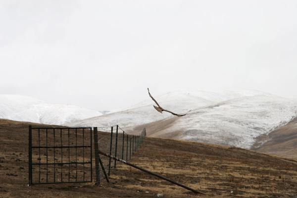 Big bird flying away from a fence in Qinghai landscape | Qinghai landschap | China