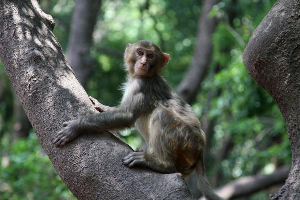 Monkey playing in a tree on Lu Shan | Qionghai-Hu Lake | China