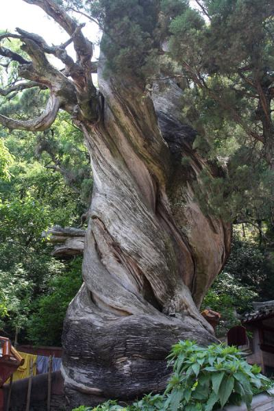 Picture of Cypress tree in the temple complex of Lu Shan is 2000 years old