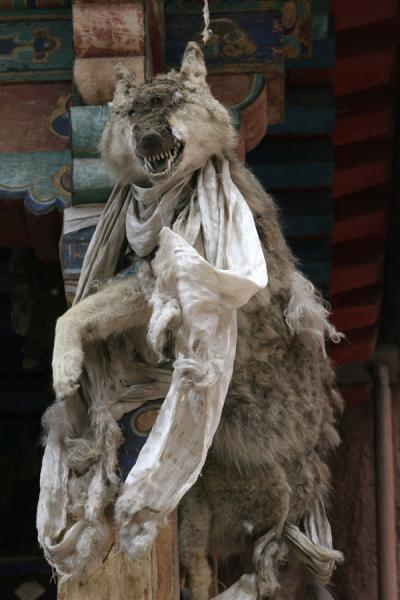Foto de Stuffed wolf guarding the entrance of the protector chapel at Sakya monasterySakya - China