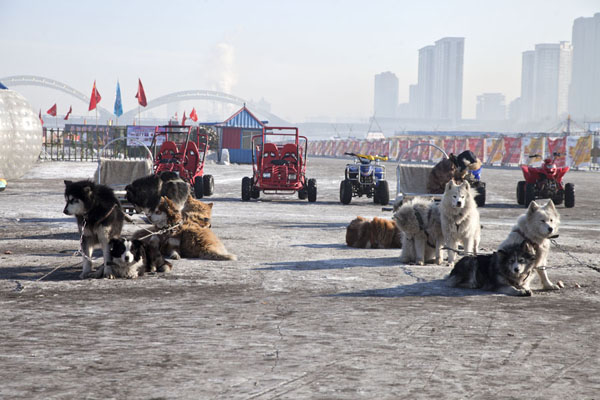 Dogs waiting for a ride on the ice | Songhua Winter Activities | China