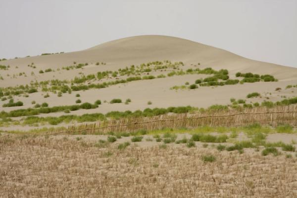 Picture of Taklamakan Desert Highway (China): Plants giving a green touch to the Taklamakan Desert sand dunes