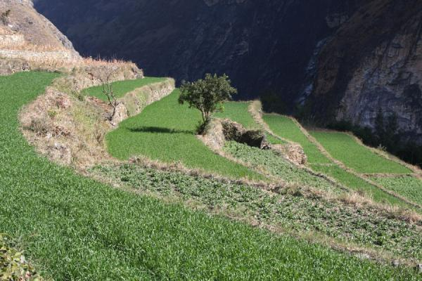 Bright green terraces at Walnut Grove; background is opposite side of the Tiger Leaping Gorge | Tiger Leaping Gorge | China