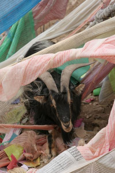 Picture of Wencheng temple (China): Holy goat covered by prayer flags