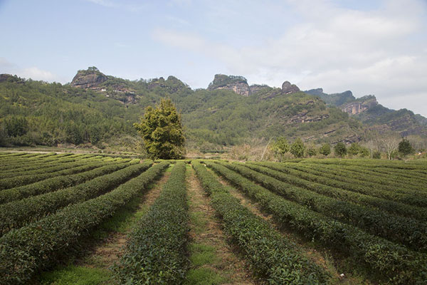 Photo de Tea plantations near XingcunzhenWuyishan - Chine