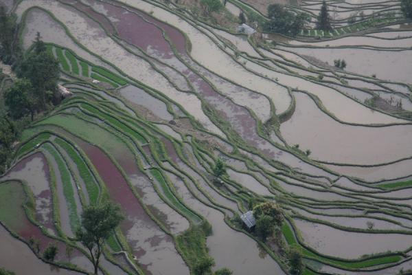 Some of the colourful rice terraces near Tiger Mouth | Yuanyang rice terraces | China