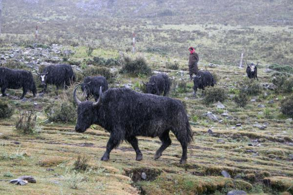 Picture of Zheduo pass (China): Yaks on the slopes of Zheduo pass looked after by a yakherd