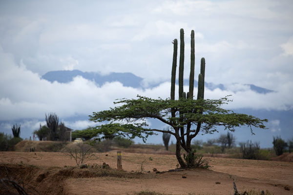 Picture of Cacti and tree, with clouds and mountains in the backgroundTatacoa - Colombia