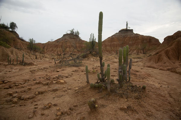 Cacti standing on dry soil surrounded by hills | Tatacoa woestijn | Colombia