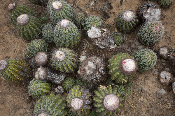 Collection of cacti on the ground of Tatacoa Desert | Tatacoa Desert | Colombia
