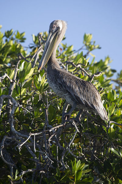 Picture of Pelican in a tree on the shore of Bahía Hondita
