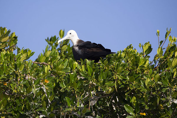 Close-up of frigate bird in a tree | Guajira Peninsula | 哥伦比亚