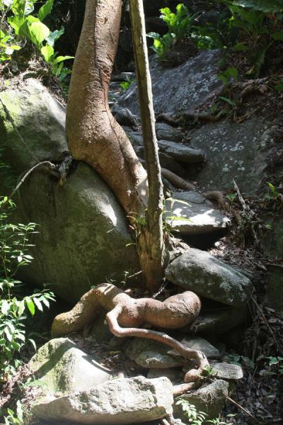 Foto de Roots of tree overgrowing the path leading up to PueblitoTayrona - Colombia