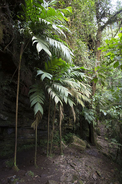 Foto van Las Palmas: a row of palm trees on the way to the waterfallSalto de Candelas - Colombia