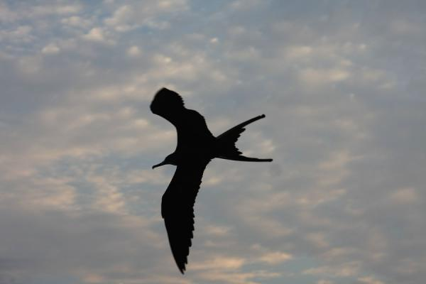 Picture of Taganga (Colombia): Fregate bird in flight near Taganga