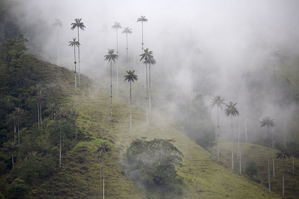 Hill with quindío wax palm trees covered in clouds | Valle de Cocora | Colombia