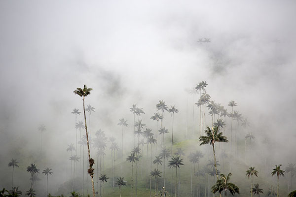 Wax palm trees enveloped in thick clouds in Cocora valley | Cocora valley | Colombia
