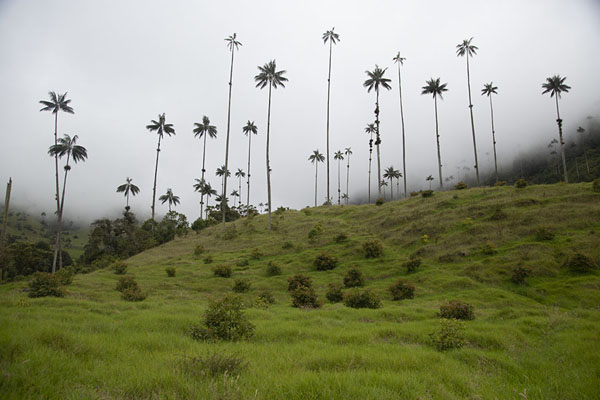 Verdant green hill with a forest of quindío wax palm trees | Valle de Cocora | Colombia