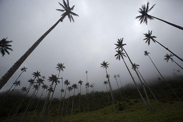 Looking up the tall quindío wax palm trees | Cocora valley | Colombia