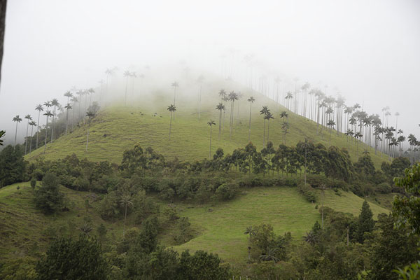 Thick clouds enveloping a hill with quindío wax palm trees | Valle de Cocora | Colombia