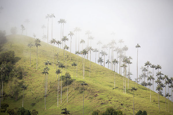 Photo de Wax palm trees on a hill with sunlight piercing through the cloudsVallée de Cocora - Colombie