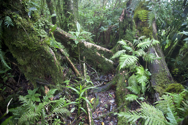 The thick vegetation close to the summit | Mount Ntringui hike | Comoros