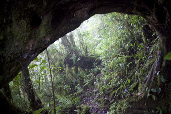 The trail leads under the trunk of a tree | Mount Ntringui hike | Comoros