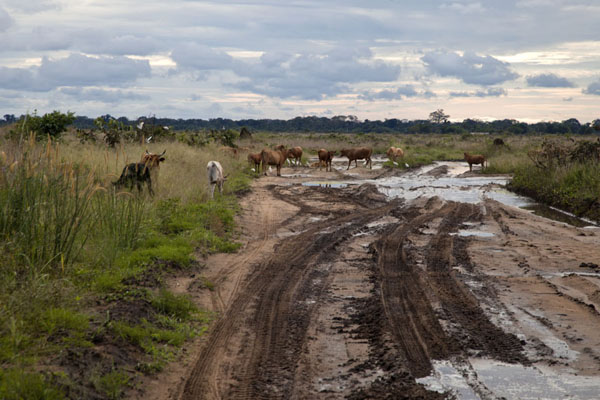 A herd of cows on the muddy track between Ewo and Boundji | Cruce de frontera de Vaga | República del Congo