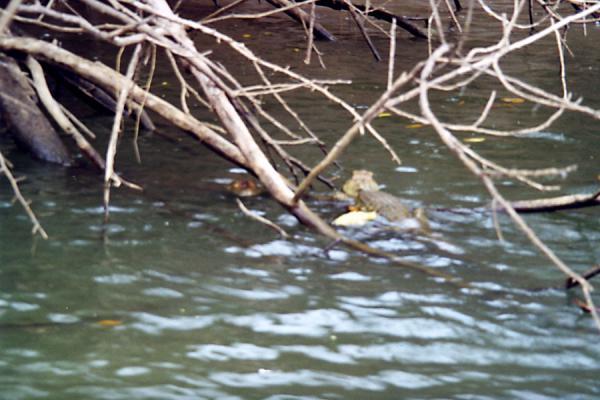 Picture of Caiman hiding between water and woodsCaño Negro - Costa Rica