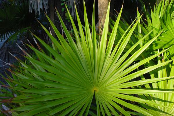 One of the palm leaves in the reserve near the resort | María La Gorda | Cuba