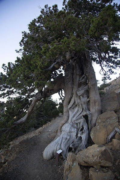 Foto de Foetid juniper growing on the trailMonte Olimpo - Chipre