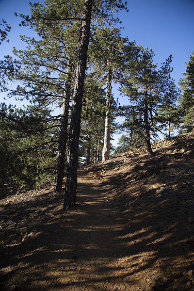 Trail leading past pine trees | Sendero Artemis | Chipre