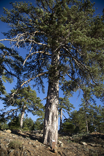 Photo de Pine trees are very common in Troodos Mountains - Chypre - Europe