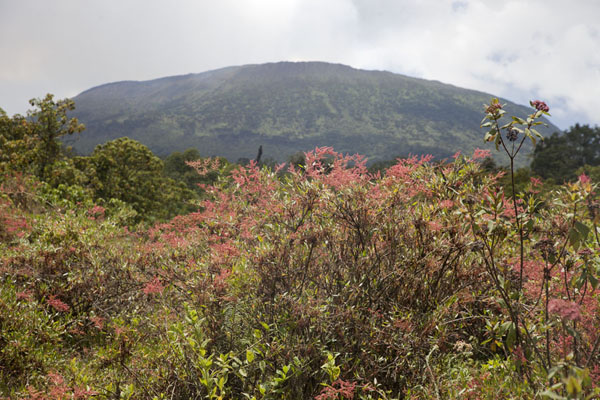 Picture of Flowers and trees are common at the foot of the Nyiragongo volcano
