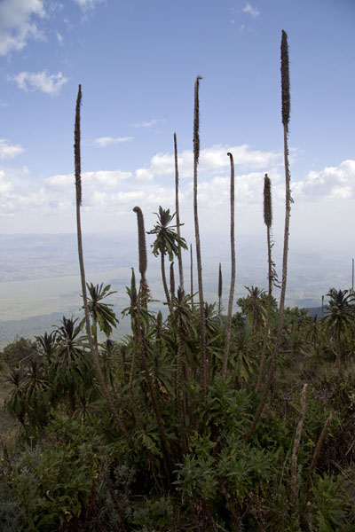 Foto van Plants at higher elevations on the slopes of NyiragongoNyiragongo - Democratische Republiek Congo