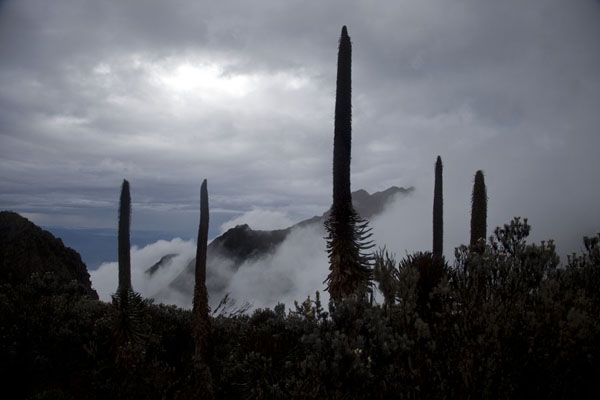 Giant lobelias with cloudy mountains in the background | Montagnes Rwenzori | Rep. Démocratique du Congo