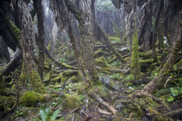 Photo de Trail winding through giant lobelias between Lac Vert and Lac Gris - Rep. Démocratique du Congo - Afrique