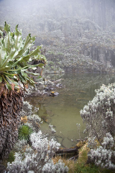 Lobelia and eternal flowers at the shore of Lac Vert | Montagne Rwenzori | Rep. Democratica del Congo