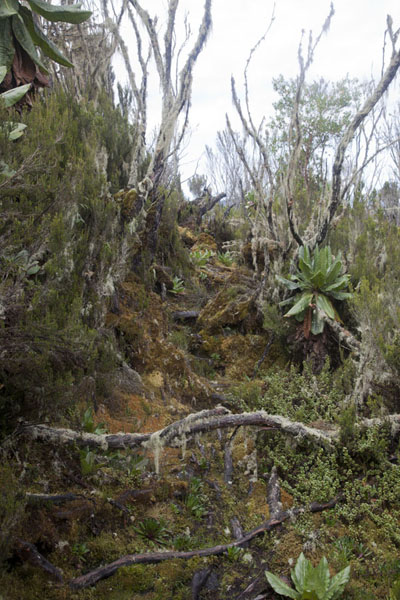 Part of the trail between Kiondo and Mahangu hut | Rwenzori Mountains | Democratic Republic Congo